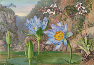 430. Water-Lily and surrounding vegetation in Van Staaden's Kloof. botanical print by Marianne North