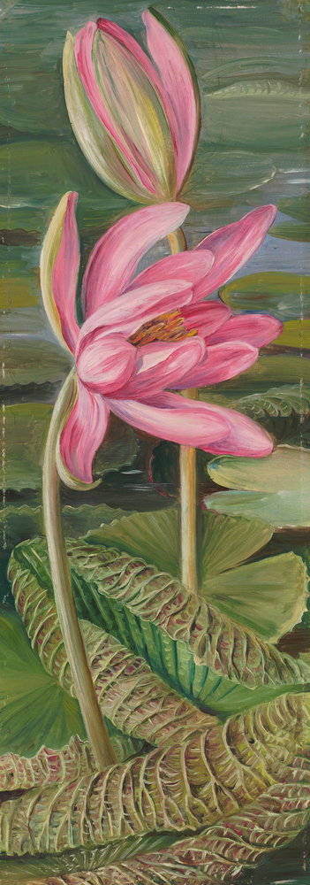 455. Red Water-Lily. botanical print by Marianne North