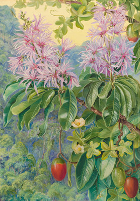 457. Wild Chestnut and Climbing Plant of South Africa. Postcards, Greetings Cards, Art Prints, Canvas, Framed Pictures & Wall Art by Marianne North