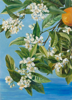 520. Orange Flowers and Fruits, painted in Teneriffe. botanical print by Marianne North