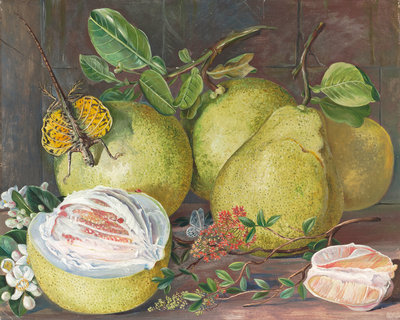 552. Flowers and Fruit of the Pomelo, a branch of Hennah, and Flying Lizard, Sarawak. botanical print by Marianne North