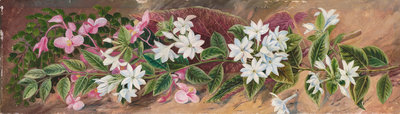 559. Flowers of a Jasmine and a Pink Begonia, Borneo. botanical print by Marianne North