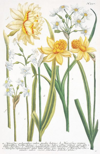 Captivating Illustrations Of Various Narcissi Botanical Print By Johann Wilhelm Weinmann