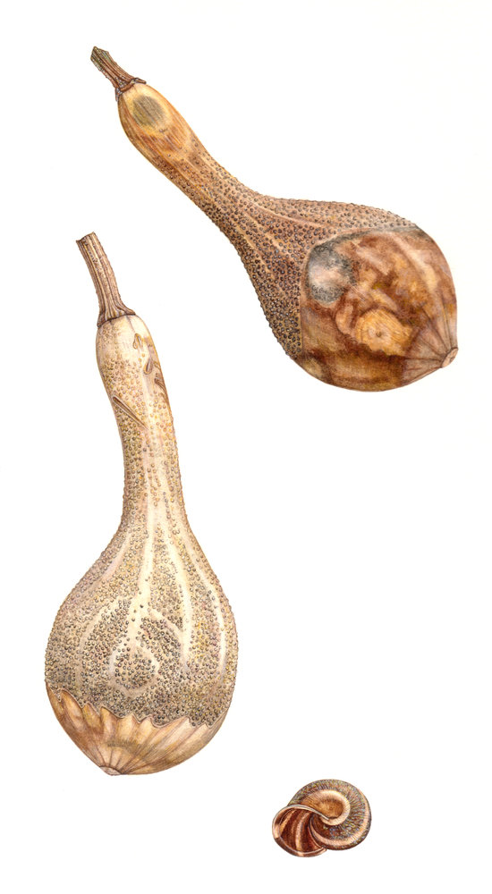 Dried Gourd With Snail Shell Botanical Print By Rachel Pedder Smith
