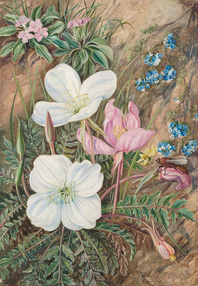 Lovely Common Flowers Of Chili. Botanical Print By Marianne North