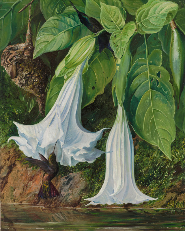 Flowers Of Datura And Humming Birds, Brazil. Botanical Print By Marianne  North