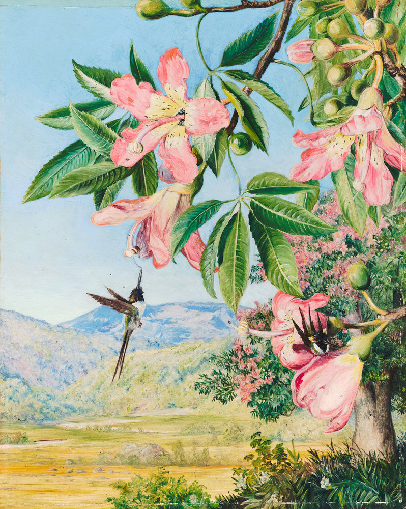 97. Foliage And Flowers Of A Coral Tree And Double Crested Humming Birds,