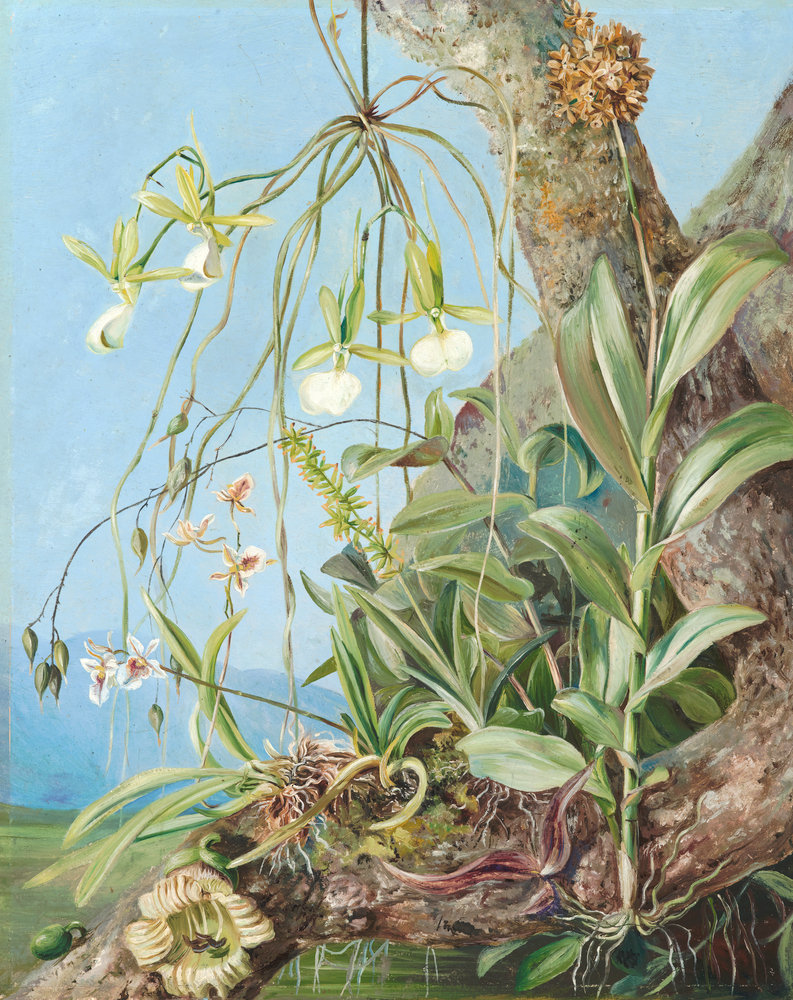 Jamaica Orchids Growing On A Branch Of The Calabash Tree. Botanical Print By
