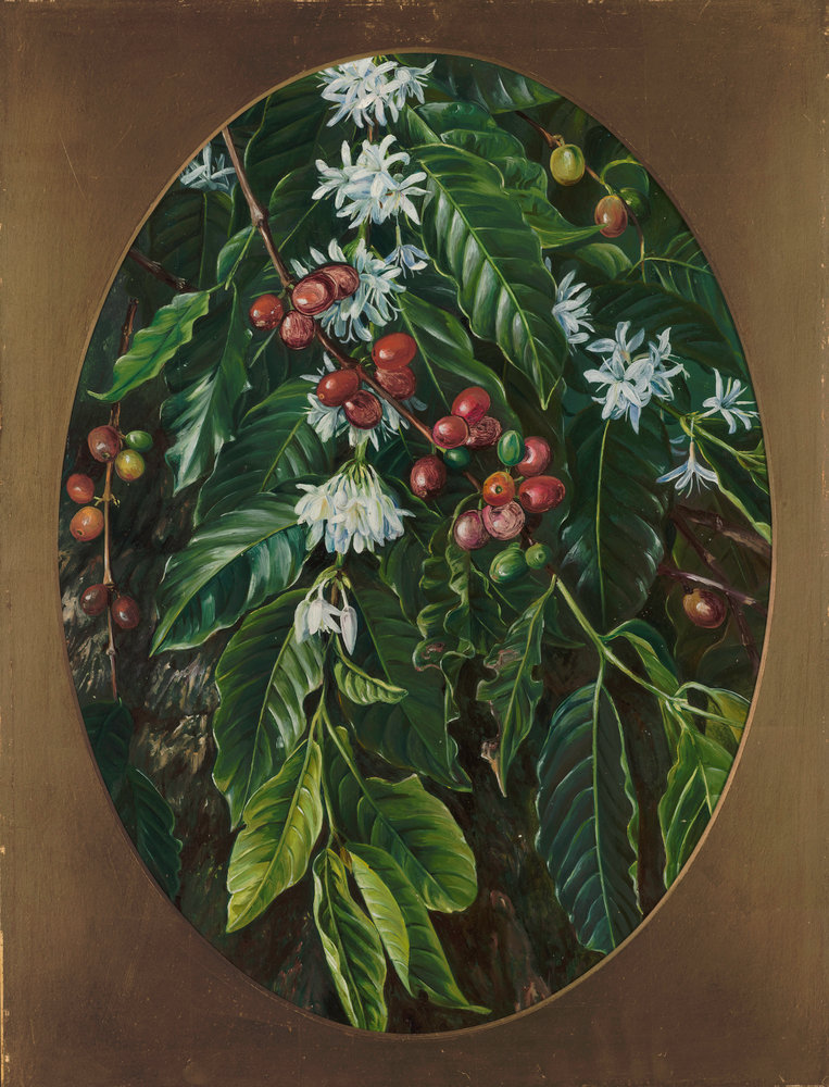 Foliage, Flowers, And Fruit Of The Coffee, Jamaica. Botanical Print