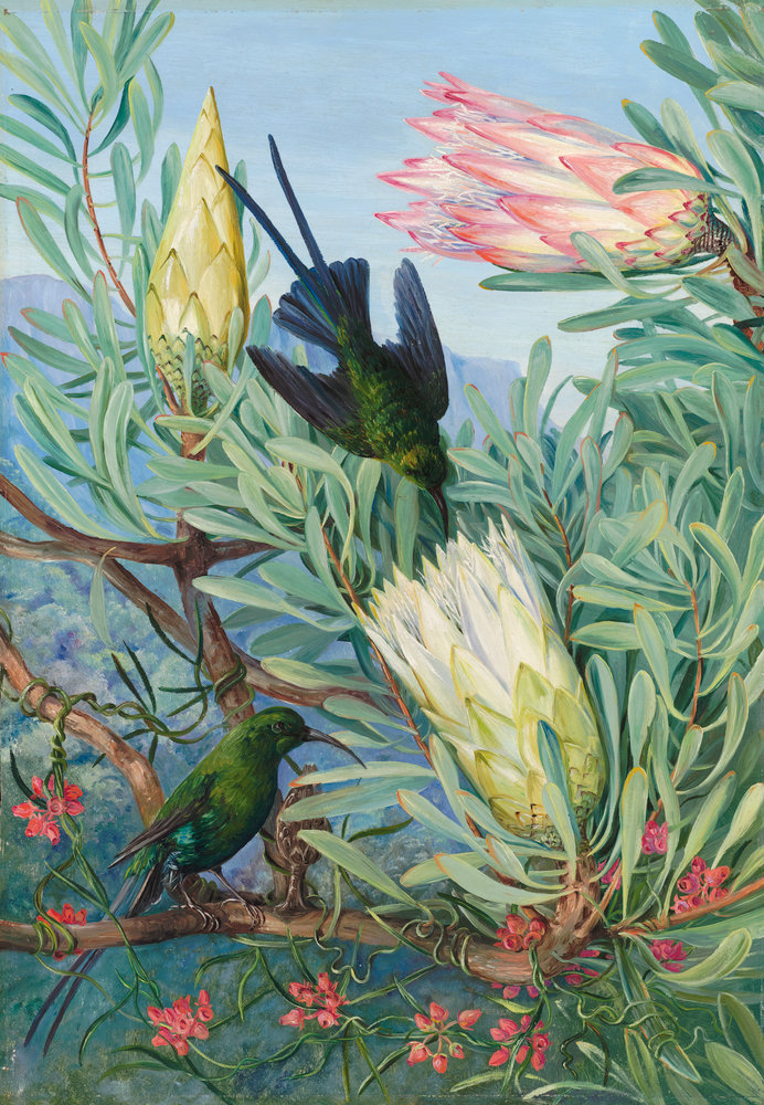 Honeyflowers And Honeysuckers, South Africa. Botanical Print By Marianne  North