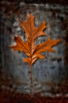 Autumnal Red Oak botanical print by Peter Straw