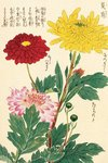 Honzo Zufu [Chrysanths] Wall Art & Canvas Prints by Kan'en Iwasaki
