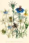 Illustrations of various Nigellas / Love in a Mist botanical print by Maria Sibylla Merian