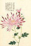 Honzo Zufu [Spider Chrysanth] Wall Art & Canvas Prints by Kan'en Iwasaki