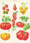 Tomatoes, or Love-Apples botanical print by Maria Sibylla Merian