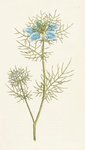 Nigella damascena. Garden Fennel-flower botanical print by Sydenham Teast Edwards