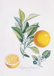 Orange Bigarrade Couronnée botanical print by William Curtis