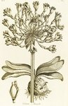 Delicate Amaryllis - Amaryllis orientalis botanical print by William Curtis