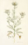 Nigella damascena. Love in a Mist botanical print by Johann Wilhelm Weinmann