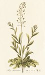 Capsella (Thlaspi) Bursa Pastoris . Shepherd's Purse botanical print by Simon Verelst