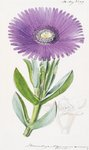 Mesembryanthemum acinaciforme. Scimitar-Leaved Fig-Marigold botanical print by Andrew McRobb