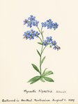 Myosotis alpestris. F.W. Schmidt. Forget Me Not botanical print by Sydenham Teast Edwards