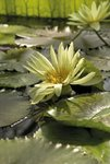 Nymphaea eldorado. Waterlily Postcards, Greetings Cards, Art Prints, Canvas, Framed Pictures, T-shirts & Wall Art by Andrew McRobb