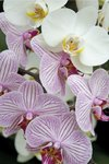 Orchid Festival - Phalaenopsis Hybrids Postcards, Greetings Cards, Art Prints, Canvas, Framed Pictures, T-shirts & Wall Art by Andrew McRobb