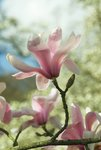 Magnolia sprengeri. var. diva Wall Art & Canvas Prints by Andrew McRobb