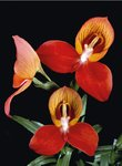 Disa uniflora Postcards, Greetings Cards, Art Prints, Canvas, Framed Pictures, T-shirts & Wall Art by Andrew McRobb