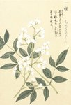 Honzo Zufu [White Berries] Wall Art & Canvas Prints by Kan'en Iwasaki
