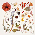 Hannah's Poppy botanical print by Rachel Pedder-Smith