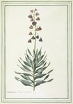 Fritillara persica botanical print by Sydenam Edwards