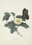 Gossypium botanical print by Sydenam Edwards