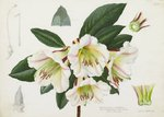 Rhododendron rhabdutum botanical print by Simon Taylor