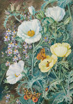 11. Mexican Poppies, Chilian Schizanthus and Insects. botanical print by Marianne North