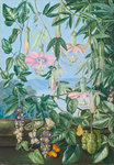 13. Two Climbing Plants of Chili and Butterflies. botanical print by Marianne North