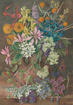 16. Wild Flowers of Chanleon, Chili Postcards, Greetings Cards, Art Prints, Canvas, Framed Pictures, T-shirts & Wall Art by Marianne North