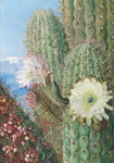 23. A Chilian Cactus in flower and its leafless Parasite in fruit. botanical print by Marianne North