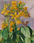 33. Flowers of Cassia corymbosa in Minas Geraes, Brazil. botanical print by Marianne North