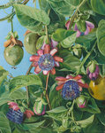 37. Flowers and Fruit of the Maricojas Passion Flower, Brazil. botanical print by Marianne North