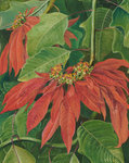 60. Flor de Pascua or Easter Flower at Morro Velho, Brazil. botanical print by Marianne North