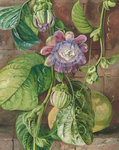 112. Foliage, flowers, and fruit of the Granadilla, Jamaica. botanical print by Marianne North