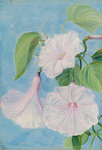 158. Flowers of a Shrubby Convolvulus, Jamaica. botanical print by Marianne North