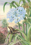 357. Blue Lily and large Butterfly, Natal. botanical print by Marianne North