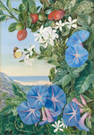 378. Amatungula in Flower and Fruit and Blue Ipomoea, South Africa. Postcards, Greetings Cards, Art Prints, Canvas, Framed Pictures & Wall Art by Marianne North