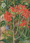 387. Aloe and Passionflower, South Africa. Postcards, Greetings Cards, Art Prints, Canvas, Framed Pictures & Wall Art by Marianne North