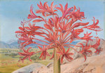 399. Brunsvigia multiflora, near Queenstown, South Africa. botanical print by Marianne North