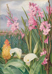 417. Beauties of the Swamps at Tulbagh, South Africa. Postcards, Greetings Cards, Art Prints, Canvas, Framed Pictures, T-shirts & Wall Art by Marianne North