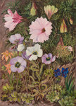 422. South African Sundews and other Flowers. Fine Art Print by Marianne North
